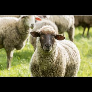 Schaf (Ovis) auf der Weide