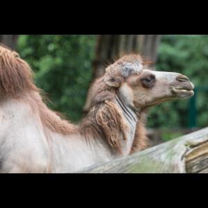 Trampeltier Zweihöckriges Baktrisches Kamel (Camel
