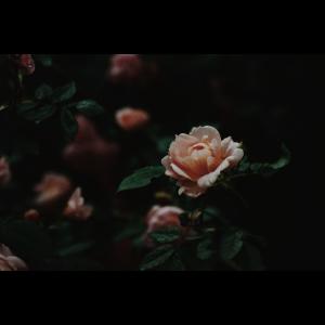Dark Rose Handyhülle