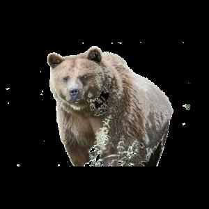 Bär Grizzly Natur Tier
