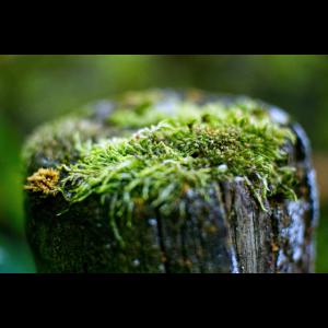 Kleiner Mikro-Kosmos Torf-Moos im Wald