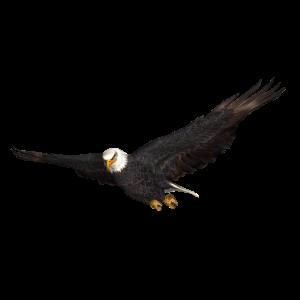 Seeadler Greifvogel Adler