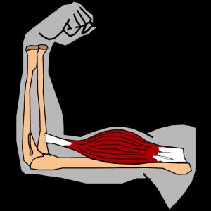 Bizeps brachii Muskel Oberarmmuskel Anatomie Kraft