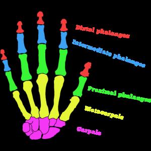 Hand Knochen Anatomie Mensch Evolution Physio