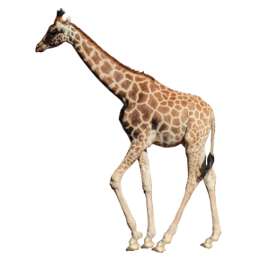 Giraffe echt