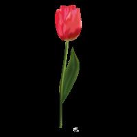 Rote realistische Tulpe