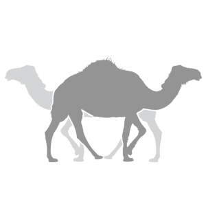 Kamel Dromedar Trampeltier Zeichnung Zwilling