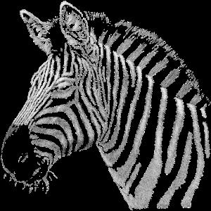 Zebra Portrait Zeichnung für schwarzen Hintergrund
