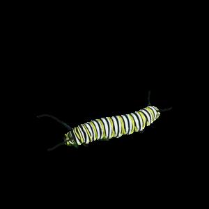 Raupe die zu Schmetterling wird Insekten Geschenk