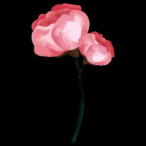 Blume Frühling Pfingstrose Rosa - Geschenkidee
