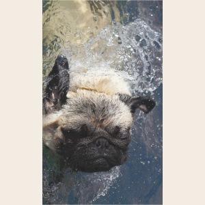 Mops schwimmt 2