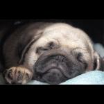 Mops Welpe schläft