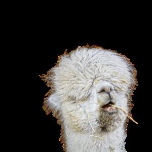 Hinterhältiges Lama
