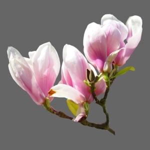 Magnolie Frühling Spring