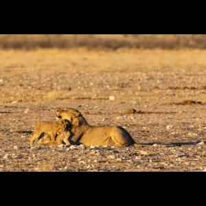 Löwin mit ihren Jungen in Namibia