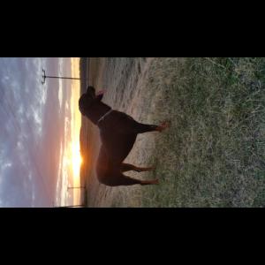 Hund Rottweiler Sonnenuntergang