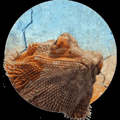 b861cfc11 Bart Agame sind für Terrarien Anfänger geeignet - Ein für Terrarien  Anfänger geeignetes Reptil sind Bart