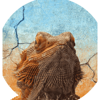 e418ce579 Der Bart der Agame sind eigentlich Stacheln - Die ursprüngliche Heimat der  Bart Agame ist Südostasien