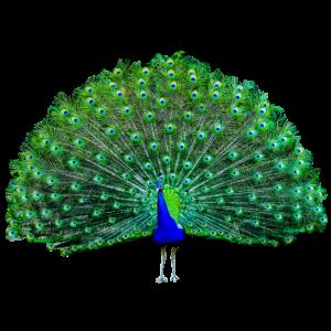 Pfau grün, blau