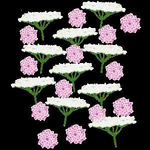Doldenblüten rosa