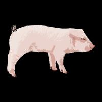 Schwein Schweinchen Ferkel