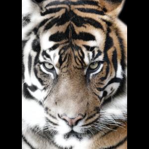 Sibirischer Tiger Tierwelt Raubkatze Wild Tier