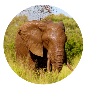 Elefanten Savanne