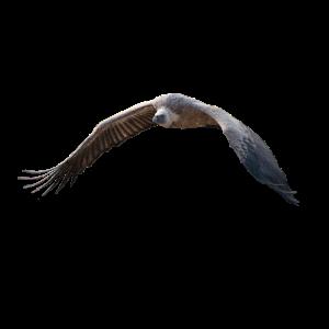 Geierflug