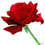 A red rose because life is beautiful