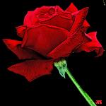 Rose rouge des amoureux de la vie