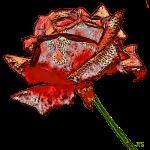 Rose fauve