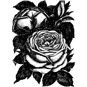 Rosen - Schwarze Rosen