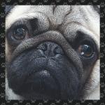 Mops Hund 4