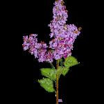 Light Purple Lilac