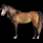 Pferd,araber,braun