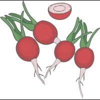 Gemüserettich