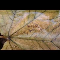 Herbstblatt (Poster)