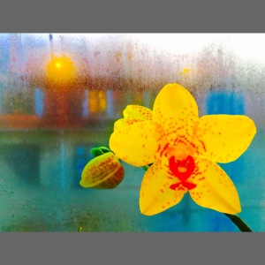 The orchid in the window