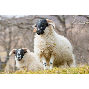 A Highland sheep with black a head in the Scottish
