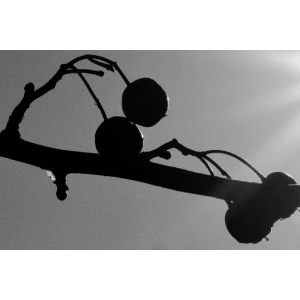 Hängende Früchte, schwarz-weiß, tiefgründig