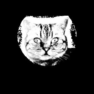 Katze britische kurzhaar