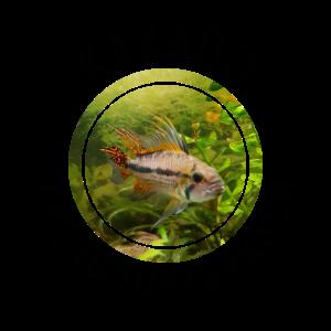 Kakadu - Zwergbuntbarsch - Aquarium