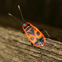 Gemeine Feuerwanze (Pyrrhocoris apterus)