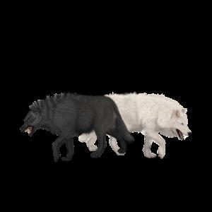 Erstaunlicher Schwarzweiss-Wolf mit dem Schädel.