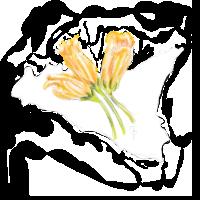 Zucchini blüht Sizilien