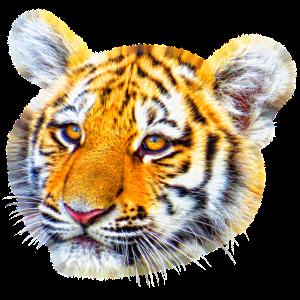 Tiger großkatze tier