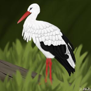 jz.birds Storch Vogel Illustration