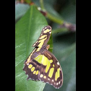 Malachite butterfly (Malachitfalter, Malachit)