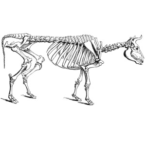 Skeleton Cow