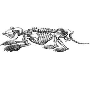 Skelett Maulwurf